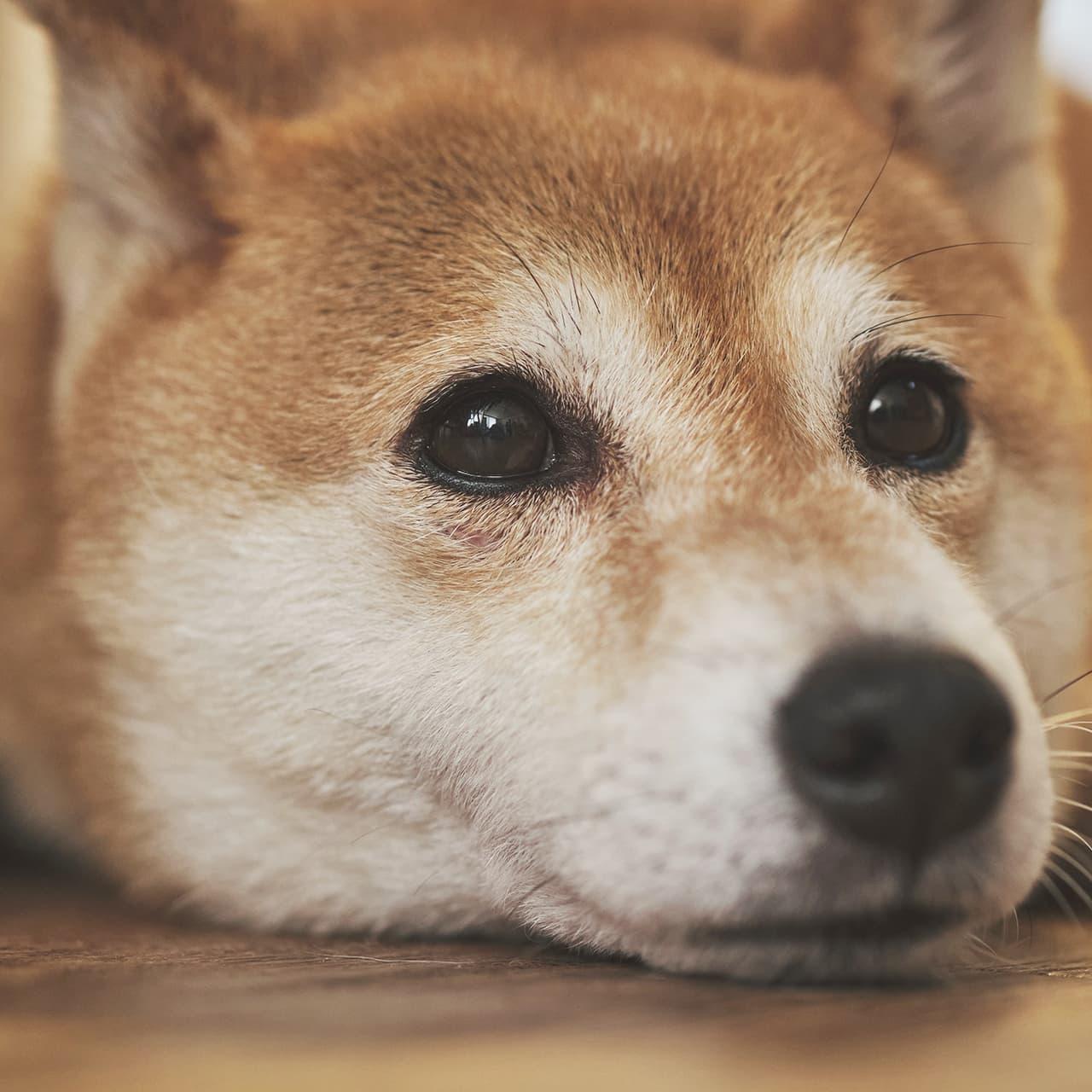 【保護柴との幸せな関係】わたしたちが保護犬について考えたいこと