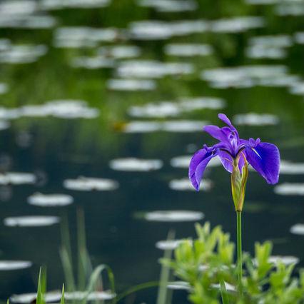 日本人の「花」の名字、実は明治以降に流入した種は存在しない