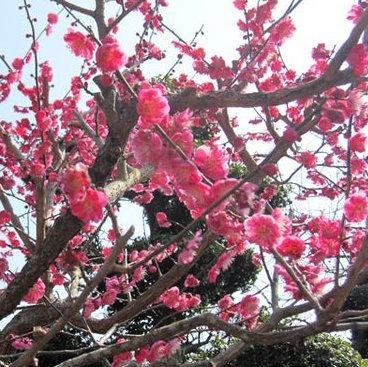 今が見頃! 35000本咲き乱れる「小田原梅まつり」<br />梅の名所が生まれた歴史を紐解く!