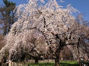 京都、10の桜!春の喜びを分かち合う