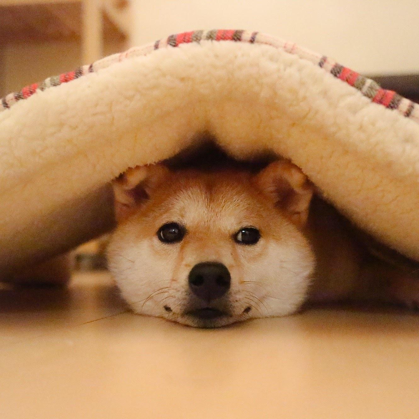 かわいすぎると絶賛。SNSで「1万いいね!」がつく柴犬に注目!人気の理由は?