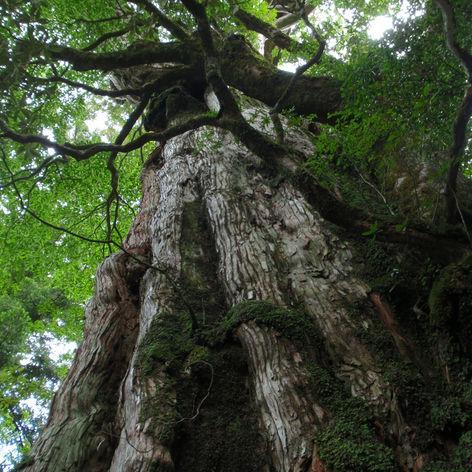 花粉症の原因として嫌われている「杉」の意外な活用法