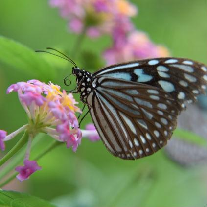 謎の蝶「アサギマダラ」に魅せられた男