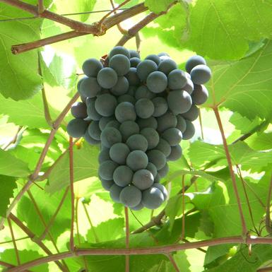 ヨーロッパの童話によく出てくる「葡萄酒」の正体とは何か?