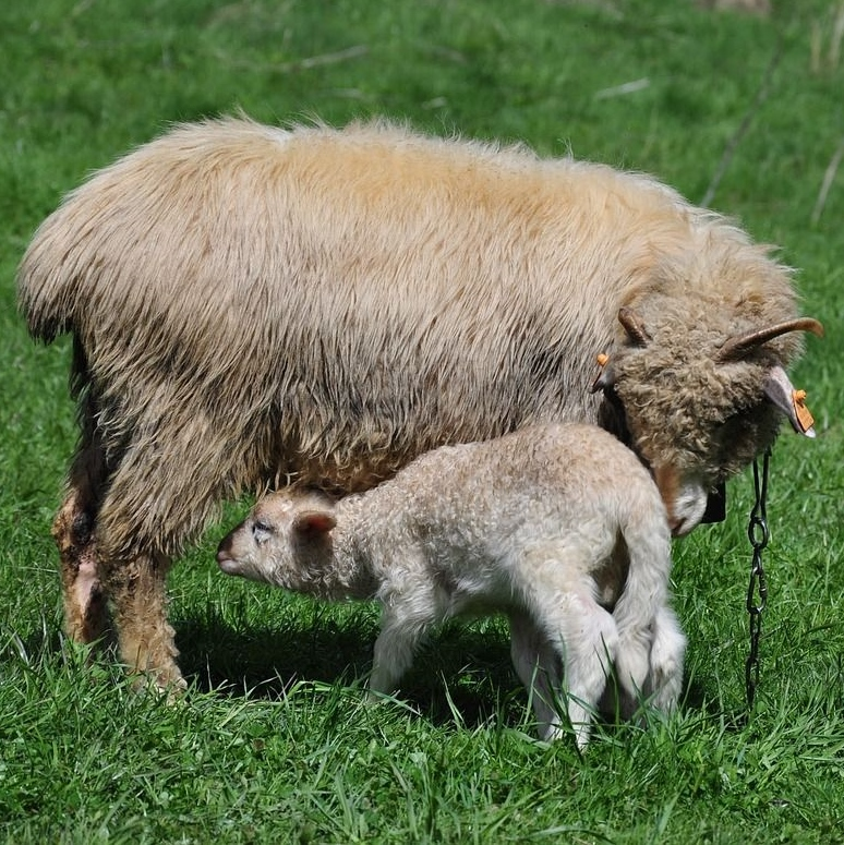 忘れられない味①乳離れしていないウブな仔羊の肉を惜しげもなく頂く!【ミシュラン完全制覇への道】
