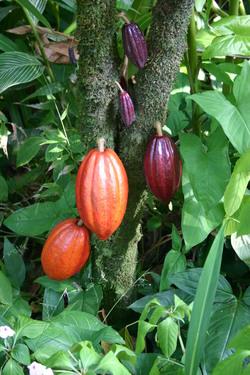 「カカオはお金にならない」? チョコレートを作る技術がなかった農園で始めた栽培