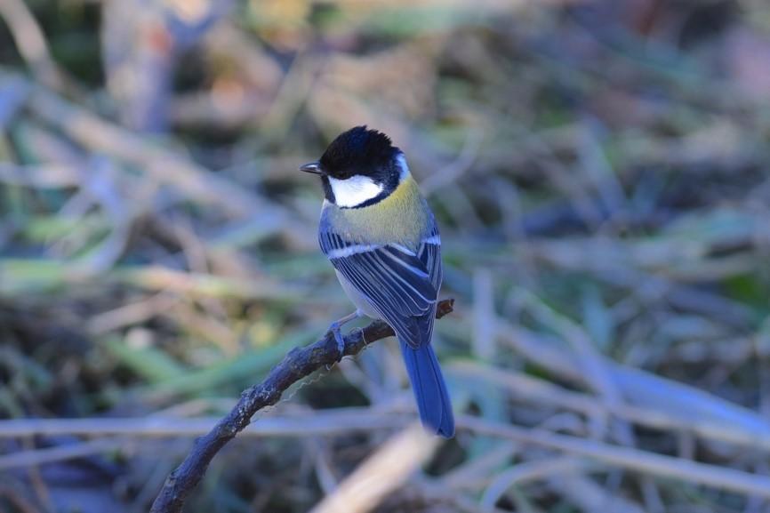 「カラスだ、ひっこめ!」鳥も言葉を持っている
